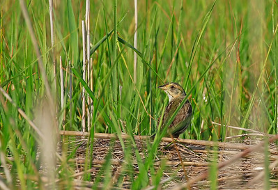 Salt Marsh Sparrow