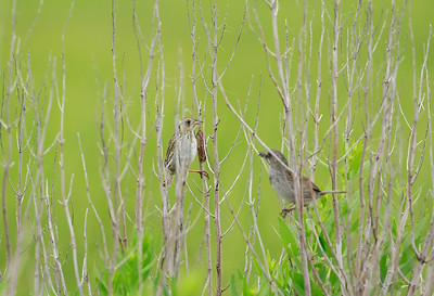 Salt Marsh and Seaside Sparrow