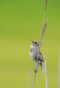 Seaside Sparrow