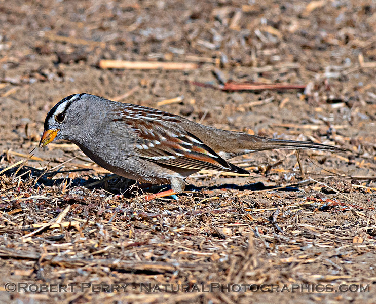 Zonotrichia leucophrys White-crowned sparrow 2020 12-01 Sac NWR--019