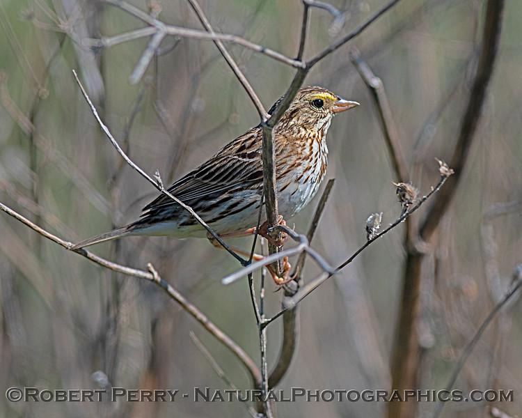 Passerculus sandwichensis Savannah sparrow 2020 03-13 Sac NWR--005