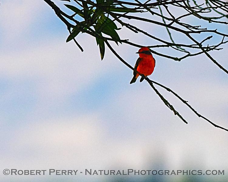 Pyrocephalus rubinus Vermillion flycatcher 2018 10-25 Maxwell--046