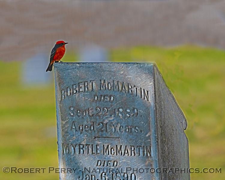 Pyrocephalus rubinus Vermillion flycatcher 2018 10-25 Maxwell--358