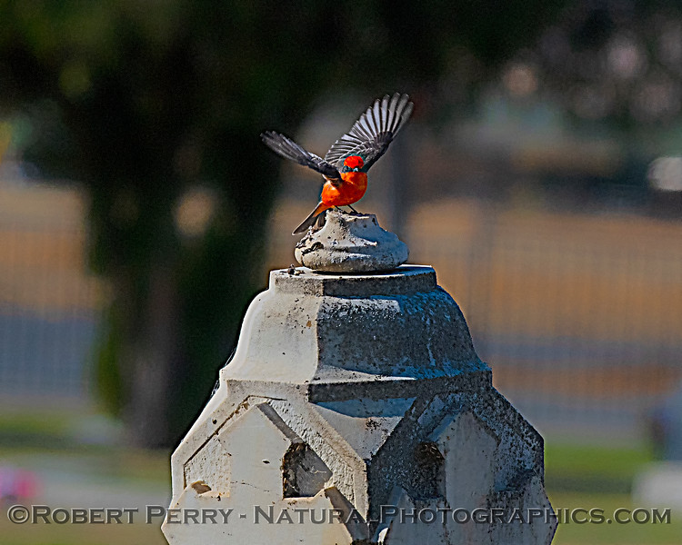 Pyrocephalus rubinus Vermillion flycatcher 2019 10-30 Maxwell Cem--035