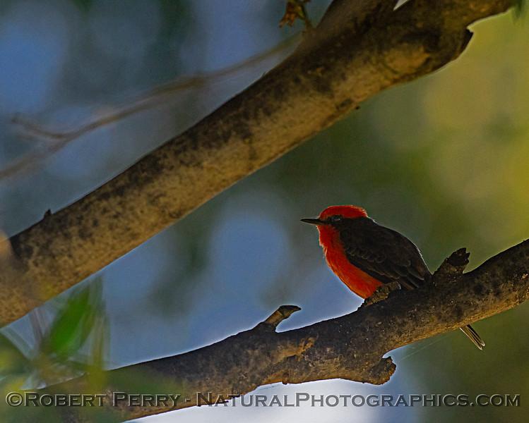 Pyrocephalus rubinus Vermillion flycatcher 2018 10-25 Maxwell--249