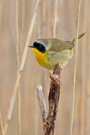 Common Yellowthroat Euphorbia ipecacuanhae- Ipecac Spurge