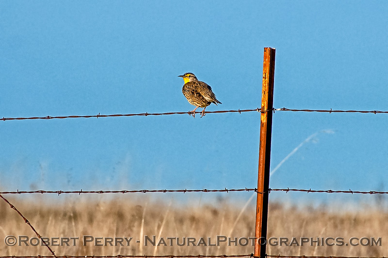 Sturnella neglecta Western meadowlark on wire fence 2018 01-31 EDH--003
