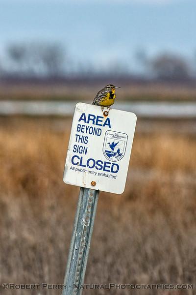 Sturnella neglecta Western Meadolark on sign VERTICAL 2018 01-04 Llano Seco-016