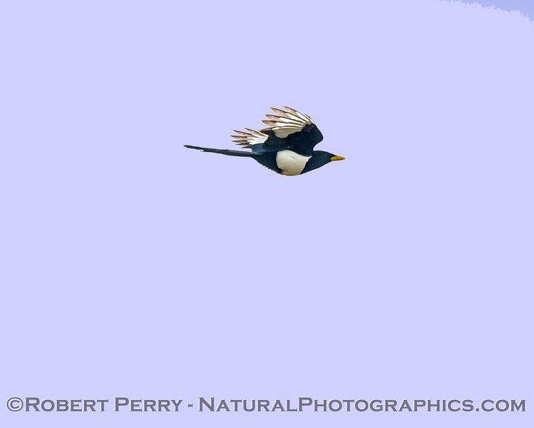 Pica nuttalli Yellow-billed magpie in flight 2018 02-10 Woodland--001