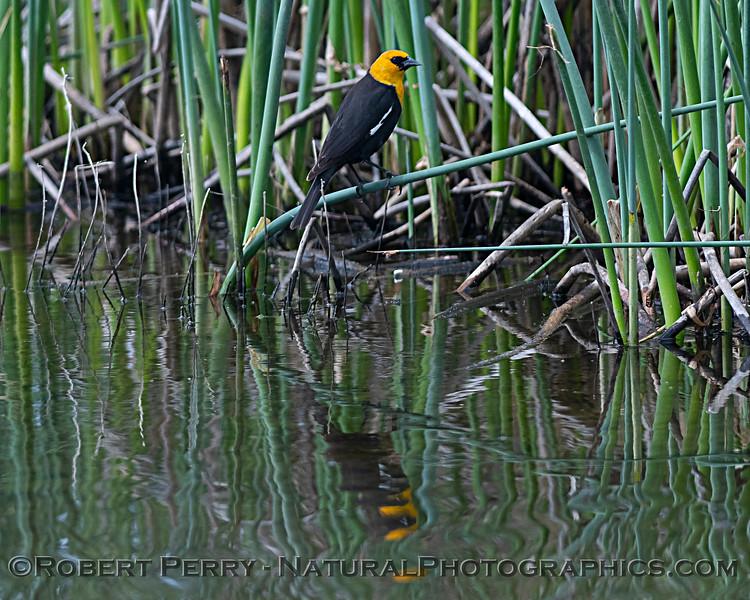 Xanthocephalus xanthocephalus Yellow-headed blackbirds 2020 04-06 Yolo ByPass-061