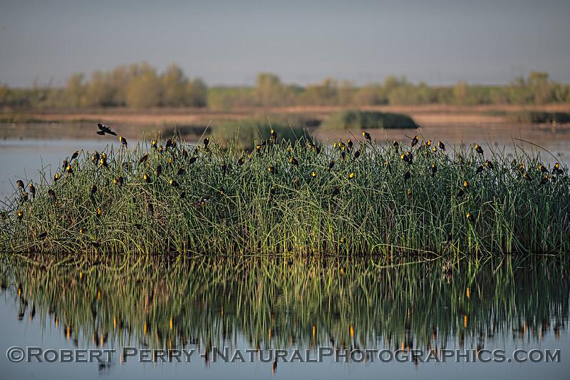 Xanthocephalus xanthcephalus flock in tule reeds 2020 03-20 Yolo ByPass--008
