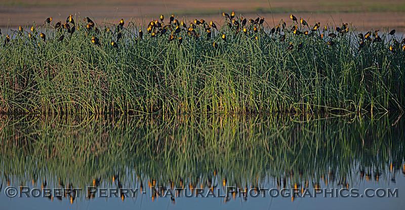 Xanthocephalus xanthcephalus flock in tule reeds PANO 2020 03-20 Yolo ByPass--132