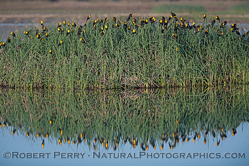 Xanthocephalus xanthcephalus flock in tule reeds 2020 03-20 Yolo ByPass--181