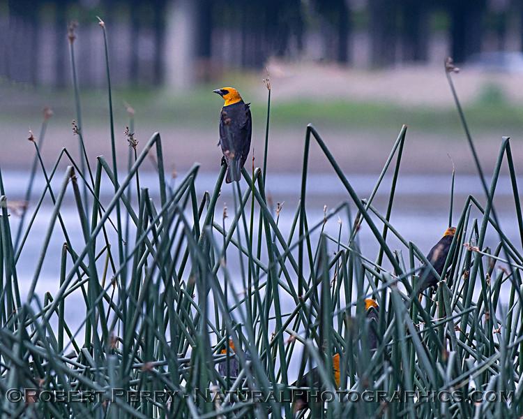Xanthocephalus xanthocephalus Yellow-headed blackbirds 2020 04-06 Yolo ByPass-019