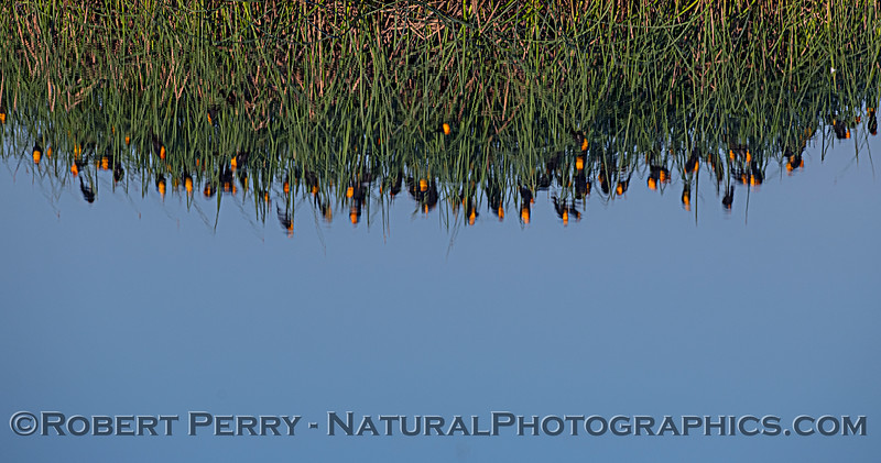 Xanthocephalus xanthcephalus REFLECTIONS PANO flock in tule reeds 2020 03-20 Yolo ByPass--158