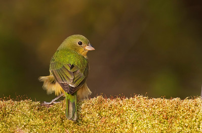 Female painted bunting during windy day