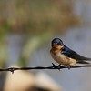 Barn Swallow (26)