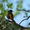Baltimore Oriole (6)