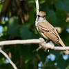 Ash-throated Flycatcher (5)