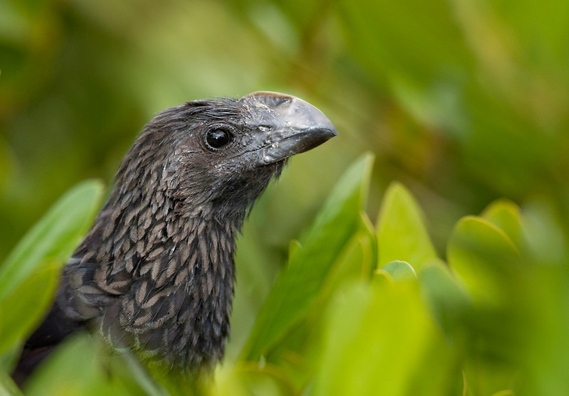 Smooth-billed ani, a rare encounter in the Everglades