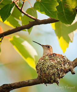 Nesting Ruby-throated Hummingbird