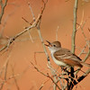 Ash-throated Flycatcher (45)