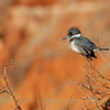 Belted Kingfisher (5)