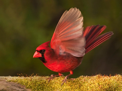 Northern cardinal on moss with wing up