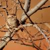 American Tree Sparrow (6)