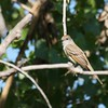 Ash-throated Flycatcher (3)