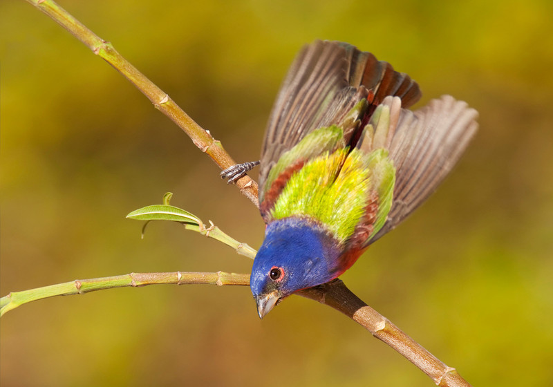 "Painted bunting ""moth"""