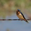 Barn Swallow (25)