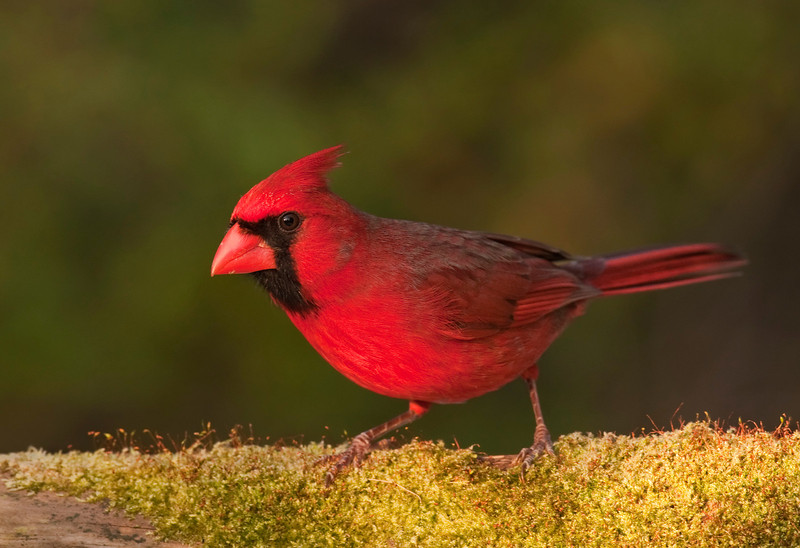 Northern cardinal on moss