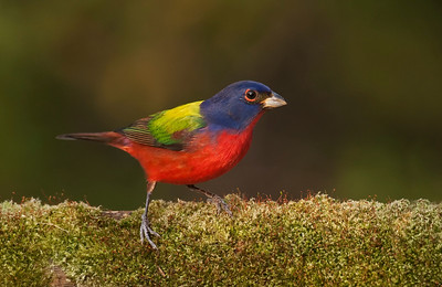 Painted bunting on moss