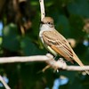 Ash-throated Flycatcher (6)