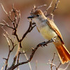 Ash-throated Flycatcher (35)
