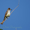 Ash-throated Flycatcher (9)