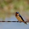 Barn Swallow (20)