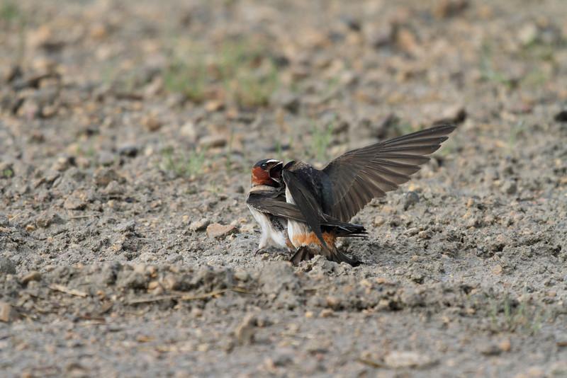 Barn Swallows Mating