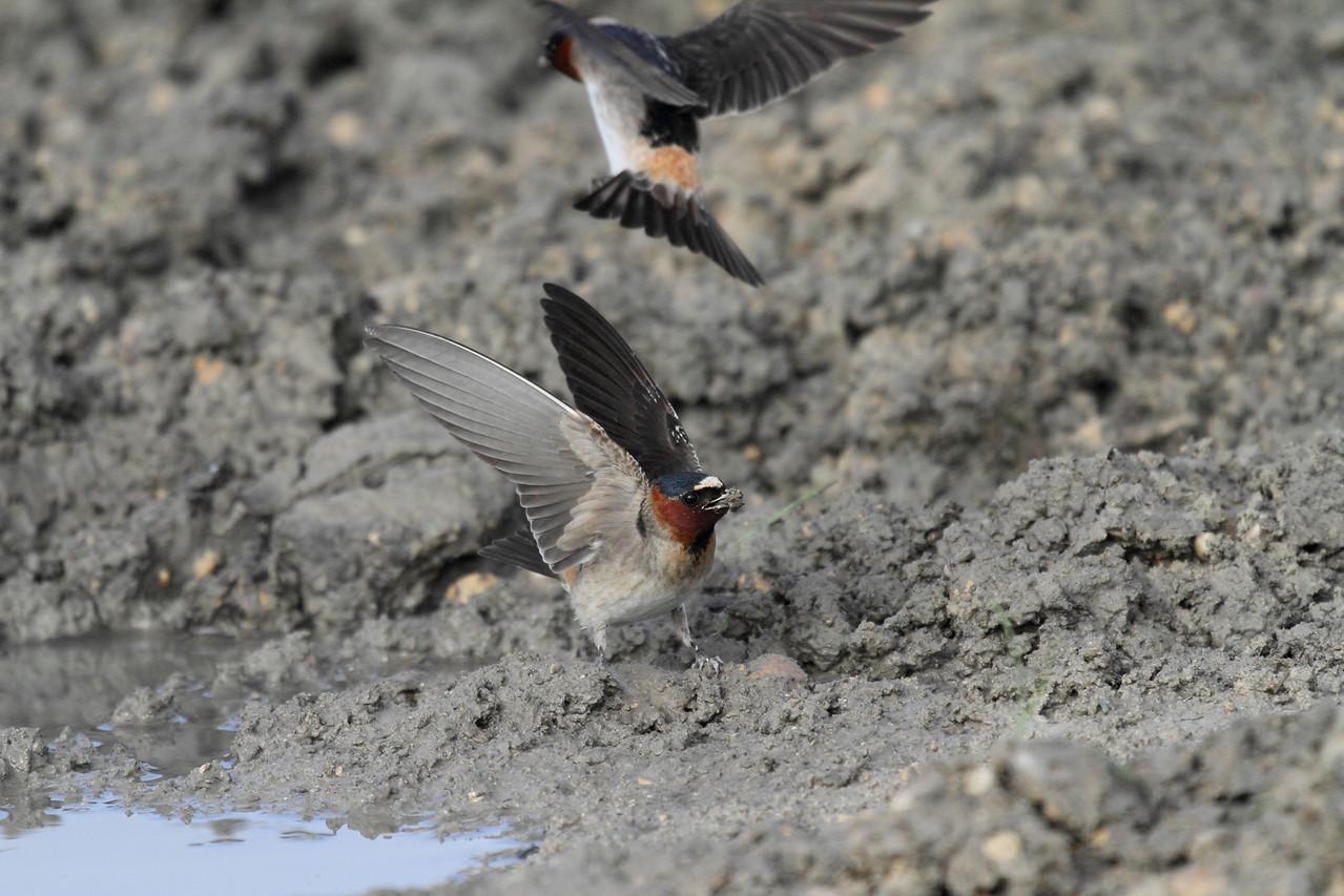 Barn Swallow Collecting Mud