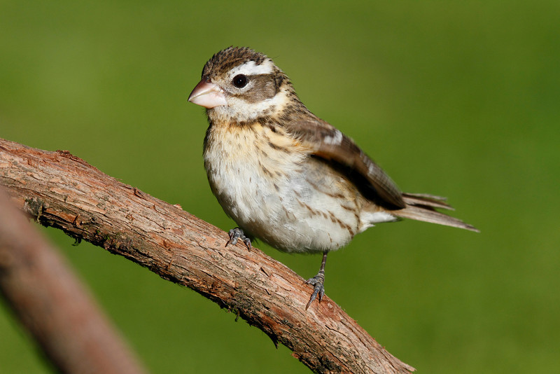 Rose-Breasted Grosbeak Female