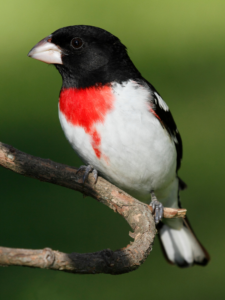 Rose-Breasted Grosbeak Male