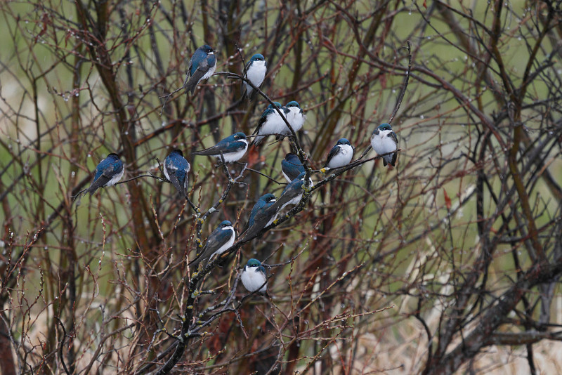 Tree Swallows During Spring Migration