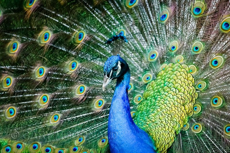 Peacock closeup