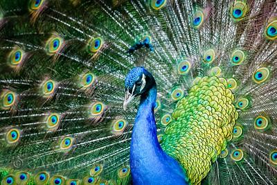 Peacock closeup