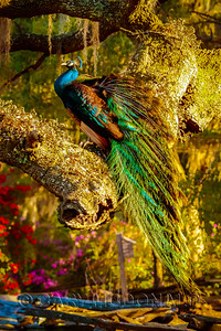Peacock at Magnolia Gardens