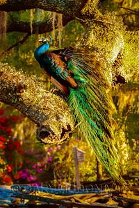 Peacock at Magnolia Gardens