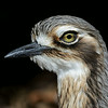 Bush Stone-curlew, Federation Walk Coastal Reserve.