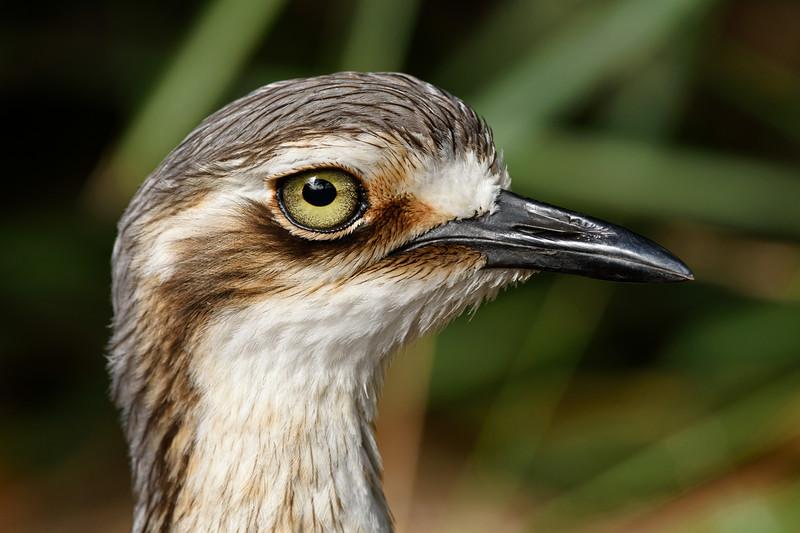 Bush Stone-curlew (Burhinus grallarius)