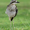 Bush Stone-curlew, Federation Walk Coastal Reserve, Gold Coast, Queensland, Australia.